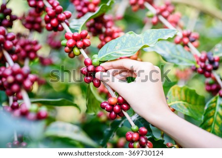 woman Hand picking red Arabica coffee beans on coffee tree - stock photo