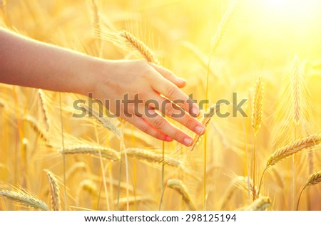 Woman hand running through wheat field. Girl's hand touching yellow wheat ears closeup. Harvest concept. Harvesting - stock photo