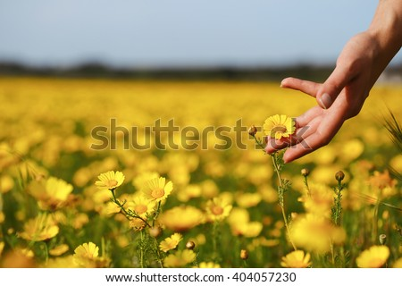 Woman hand touching yellow flowers in Cyprus. - stock photo