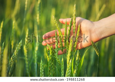 Woman hand with ear of wheat. - stock photo