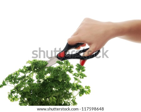 woman hand with scissors cutting persley - stock photo