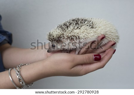 Woman hands holding white african hedgehog - stock photo