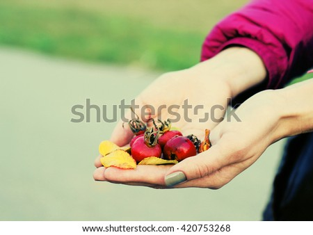 woman hands is holding red berries of a dog rose.   - stock photo