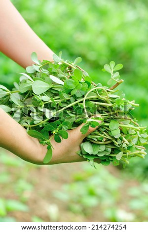 woman hands picking herb at garden