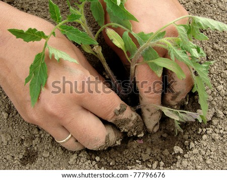 woman hands planting tomato seedlings - stock photo