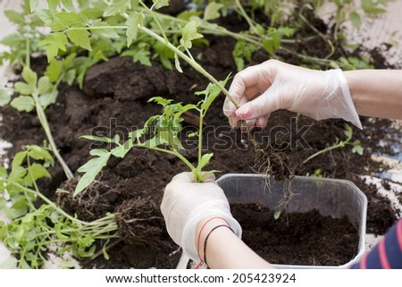 woman hands planting tomatoes - stock photo