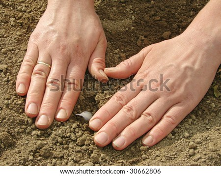 woman hands sowing garlic into the ground - stock photo
