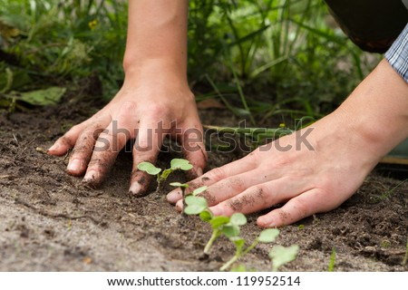 woman hands weeding the sprouts of Japanese radish at the kitchen garden - stock photo