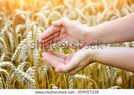 Woman hands with ear of wheat. Close-up