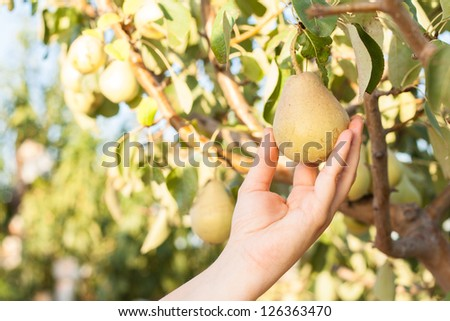 Woman harvesting pears on a tree branch in orchard - stock photo