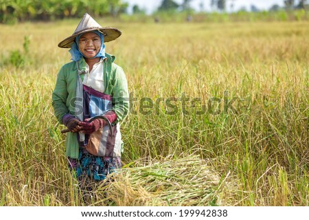 Woman harvesting rice with a  scythe in Thailand - stock photo