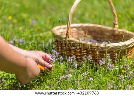 Woman herbalist picking up wild herbs - stock photo