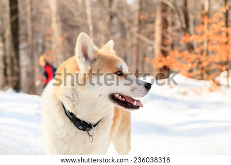 Woman hiking with akita dog on white snow, forest in winter mountains with woman in the background. Travel together with animal pet friend, natural portrait. - stock photo