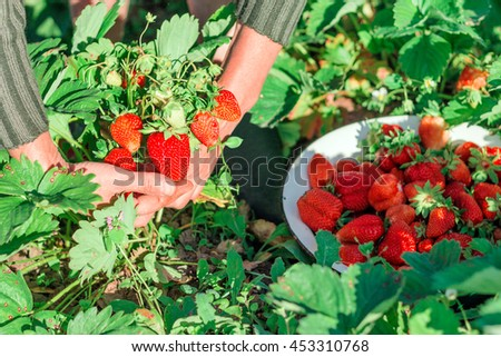 Woman hold strawberry bush in hands. - stock photo