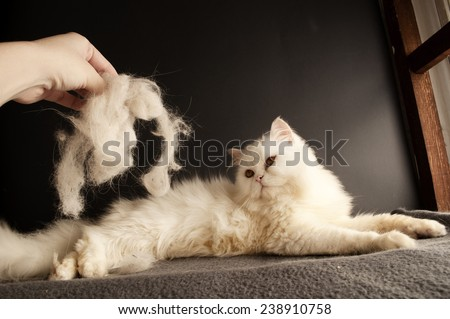 Woman holding a clump of cat hair in front of white cat - stock photo