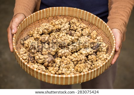 Woman holding a tray of civet cat poo containing digested coffee beans. Once roasted, the coffee - known as Kopi Luwak - fetches very high prices - stock photo