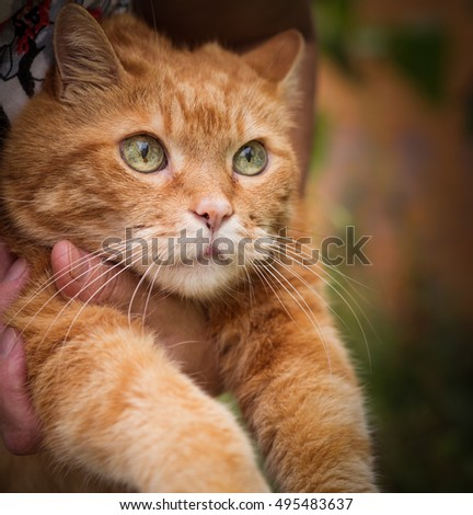Woman holds a red cat. Selective focus.