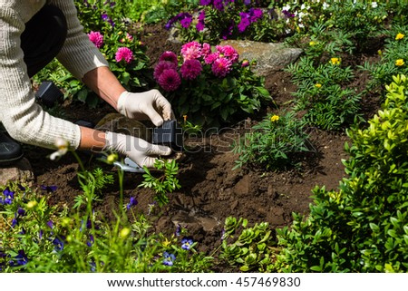Woman is planting marigold (Tagetes)  seedlings in the flower garden, horticulture and the flower planting concept - stock photo