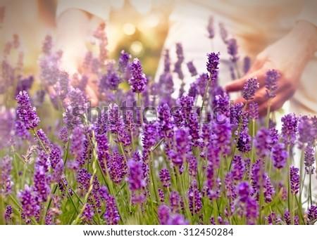 Woman pick up lavender - stock photo