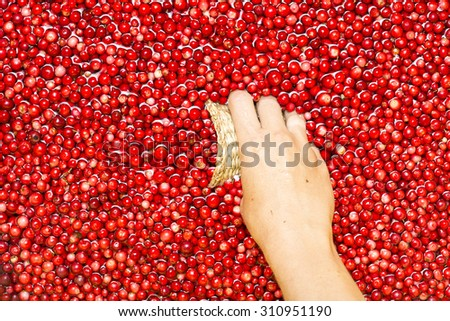 Woman picking berries in a wicker box. - stock photo