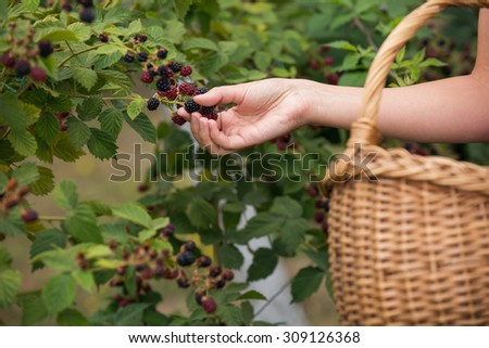 Woman picking blackberries on a farm - stock photo