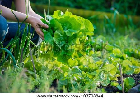 woman picking fresh lettuce from her garden - stock photo