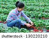 woman picking strawberry at  field - stock photo