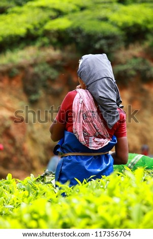 Woman picking tea leaves in a tea plantation, Munnar is best known as India's tea capital - stock photo