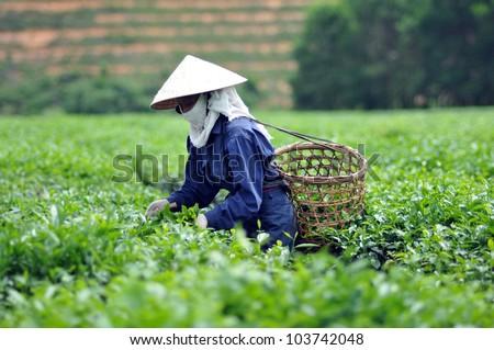 Woman picking tea leaves in a tea plantation Vietnam - stock photo