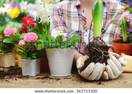 woman planting flowers in pots, close-up hands. - stock photo