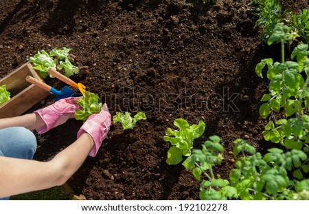 Woman planting lettuce and tomatoes, gardening concept - stock photo