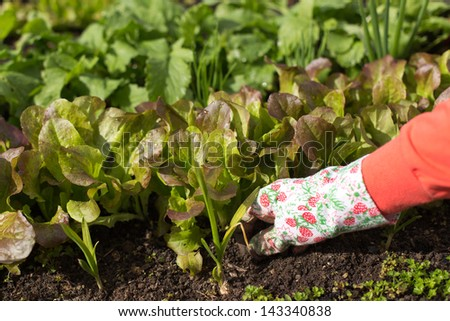 Woman planting salad seedlings in her kitchen garden. - stock photo