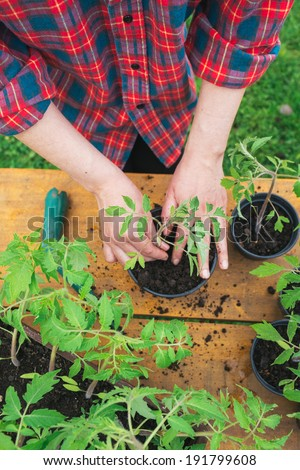 Woman planting tomato seedling - stock photo