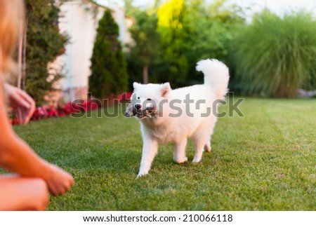 Woman playing with her samoyed dog on the grass - stock photo