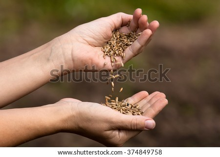 woman pouring rye grains from one hand to another, closeup