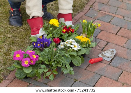 woman preparing narcissus ( daffodil ) , primroses  and  ranunculus flowers for planting in the flowerbed. - stock photo