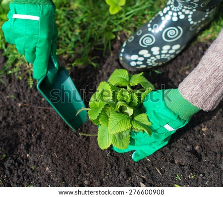 Woman's hand planting strawberry. - stock photo