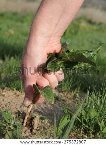 woman's hand pulling a large green weed