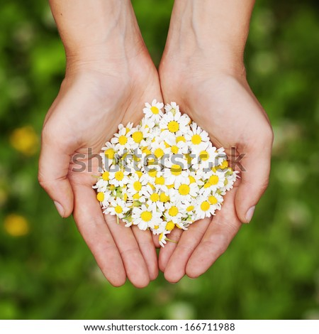 Woman's hand with a camomile - stock photo