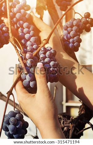 Woman's hands are taking down bunch of grapes from tree in a garden - stock photo
