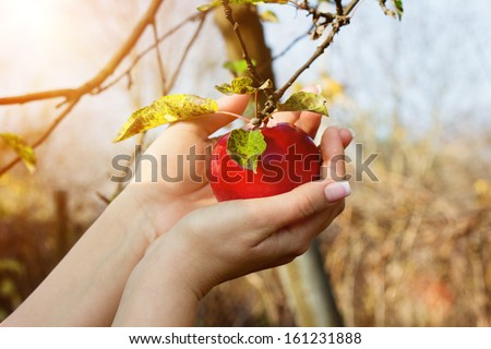 Woman's hands are taking down red apple from tree in a garden - stock photo