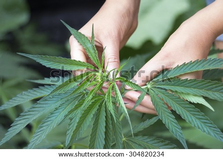 Woman's hands picking green hemp's top - stock photo
