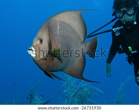Woman scuba diver all gearded up following a grey angelfish in the open water. - stock photo