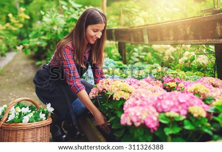 Woman selecting a pink hydrangea from amongst the stock in the greenhouse at a nursery bending down with a smile between the plants to pick up the potted plant - stock photo