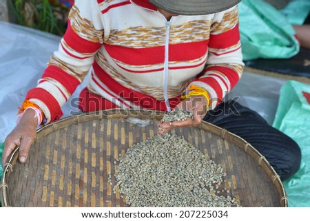 Woman selecting coffee beans after drying in the sun in Paksong, Bolaven Plateau, Laos - stock photo