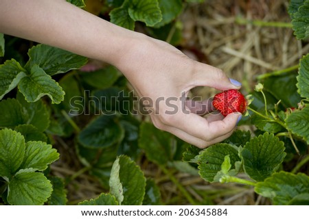 woman showing red strawberry on hand in farm  - stock photo
