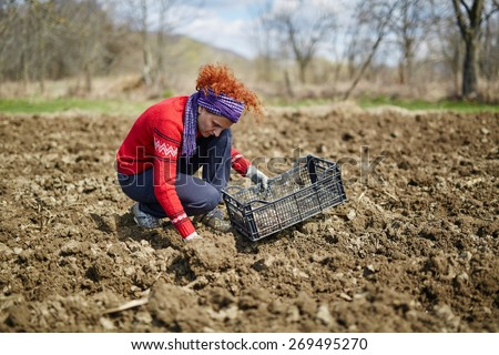 Woman sowing potato tubers into the plowed soil