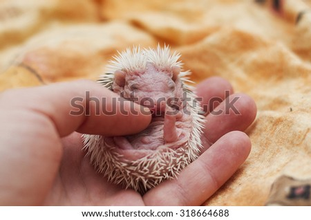 Woman stroking young rodent african pygmy hedgehog baby love care - stock photo