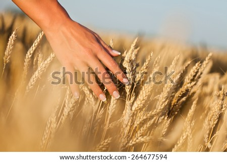 Woman touching wheat with hand - stock photo