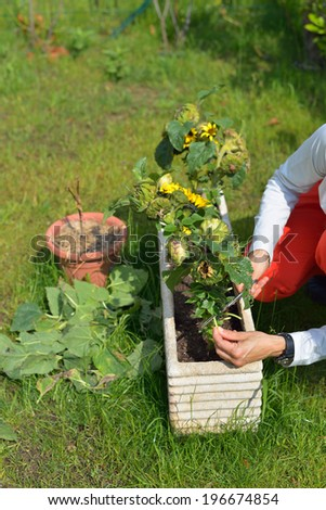 Woman trimming sunflower plants injured by spring parasites. - stock photo